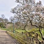 Pink blossom in Avenham Park, Preston
