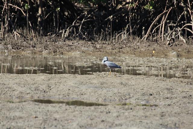 White-faced heron (Egretta novaehollandiae)