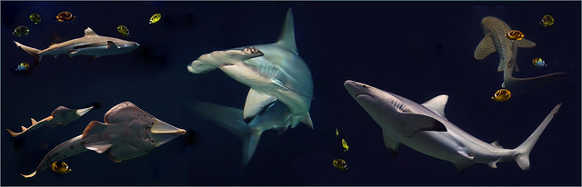 Shark spectacle