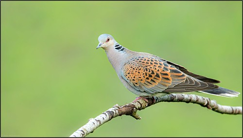 Tourterelle des bois / European Turtle Dove