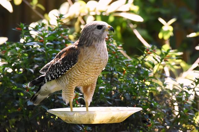 Hawk in a birdbath DSC_1424