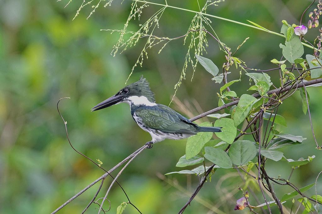 Амазонский зелёный зимородок, Chloroceryle amazona, Amazon Kingfisher