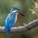 Kingfisher -202003271417.jpg