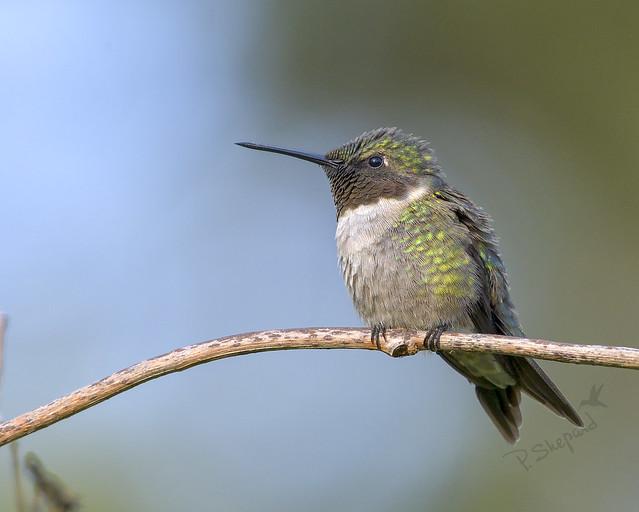 First bird; another view   3-28-20_018