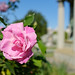 Classic/classical pink rose at Oakland Cemetery