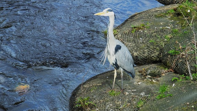 The Lordly Heron Watches 01