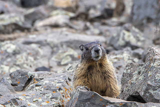 DSC_6434 Yellow-bellied Marmot