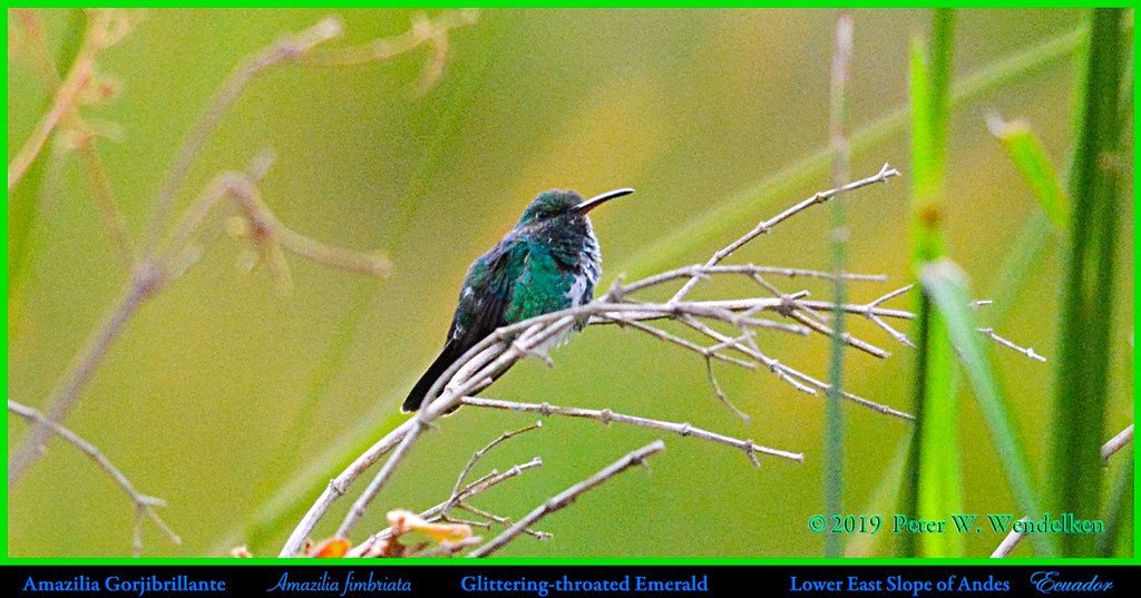 GLITTERING-THROATED EMERALD Amazilia fimbriata on Eastern Slope of Andes in ECUADOR. Hummingbird Photo by Peter Wendelken.