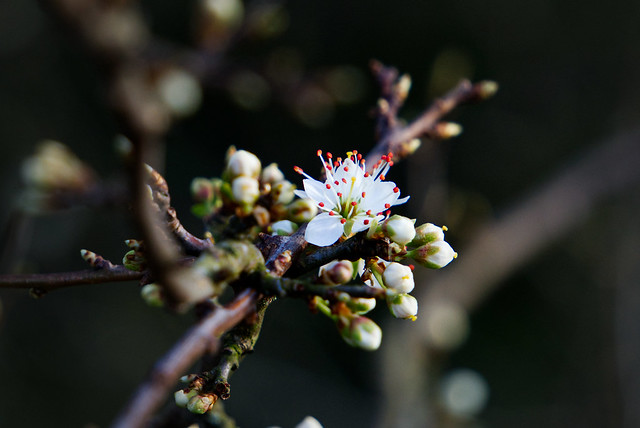 Backthorn, Prunus spinosa