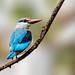Woodland Kingfisher by Bob Gunderson