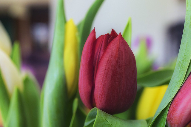 Red Tulip - A Macro on Monday