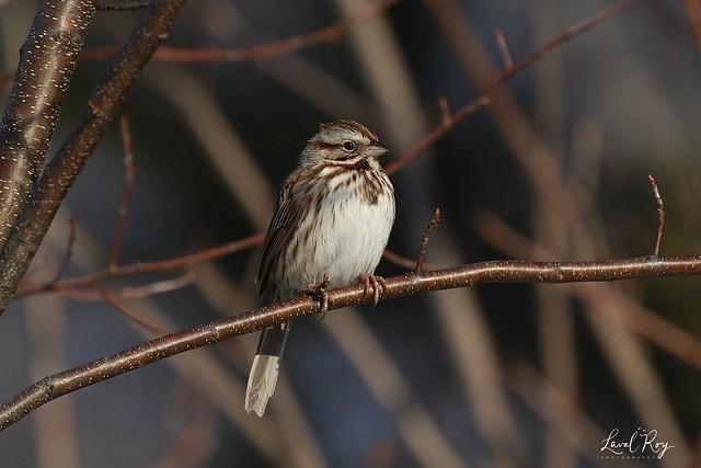 1.29681 Bruant chanteur / Melospiza melodia melodia / Song Sparrow