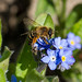 Yellow-legged Mining Bee (Andrena flavipes) female