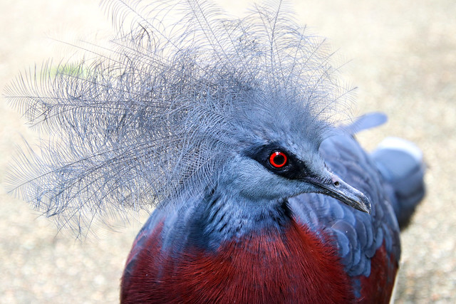 Sclater's crowned pigeon (Goura sclaterii) , Jurong bird park, Singapore