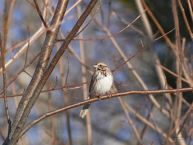 32020 Bruant chanteur / Melospiza melodia melodia / Song Sparrow
