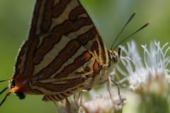 Plumbeous Silverline (Cigaritis schistacea)