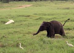 Sri Lankan Elephant (Elephas maximus maximus)