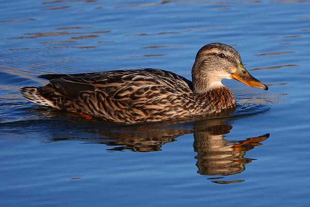 Mallard Rutland Water1-3-20