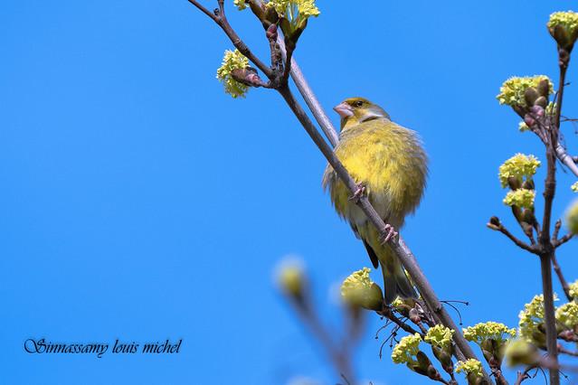 European greenfinch / Verdier d'europe