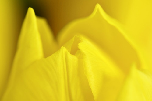 Yellow Tulip | by _Ard_