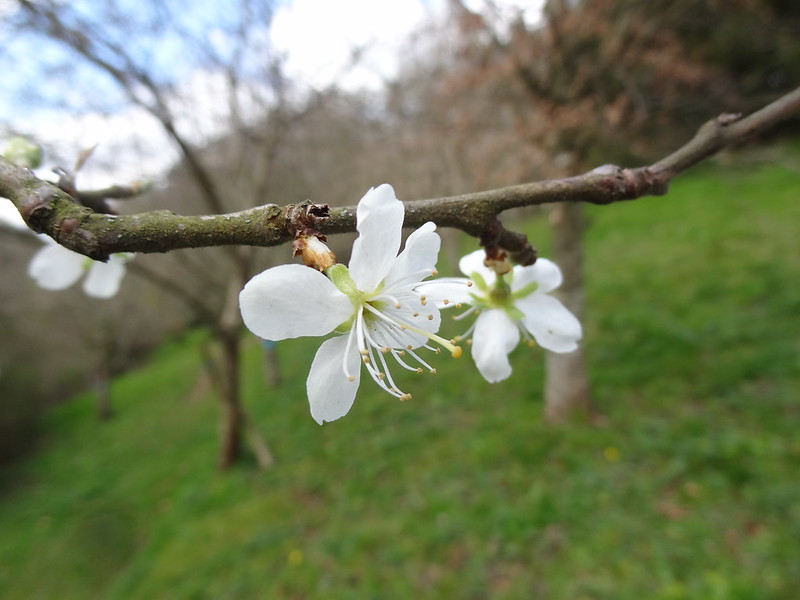 Blossom on our Wedding Plum Tree