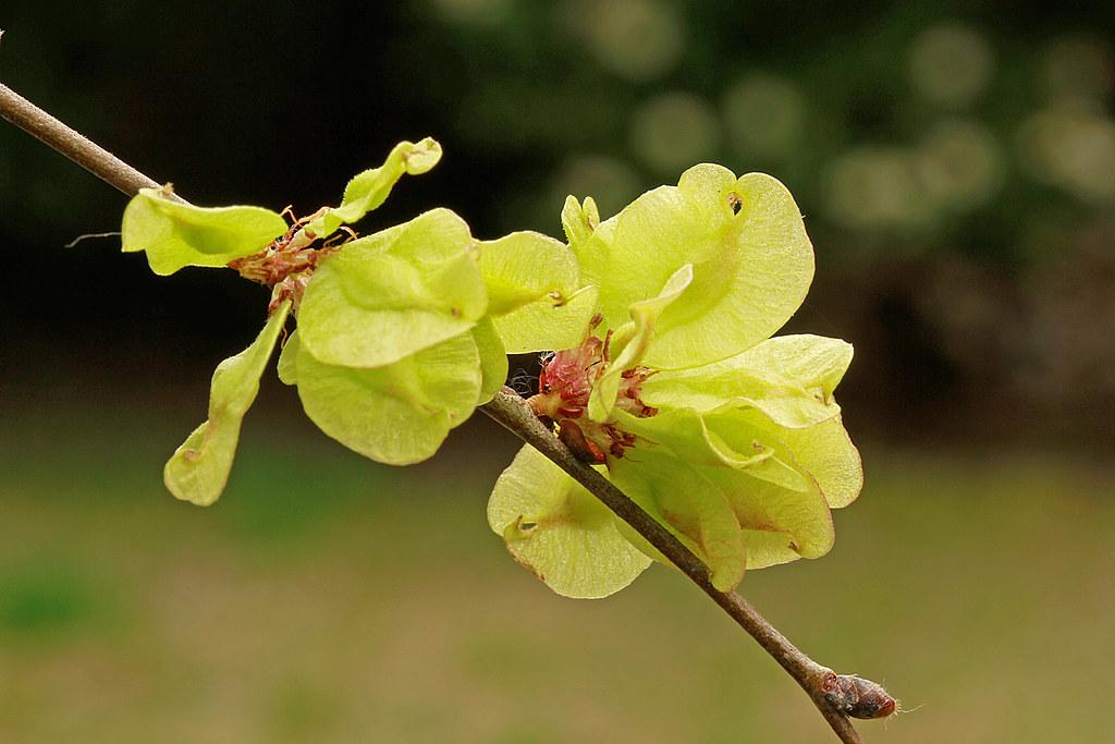 Ulmus minor (fructification)