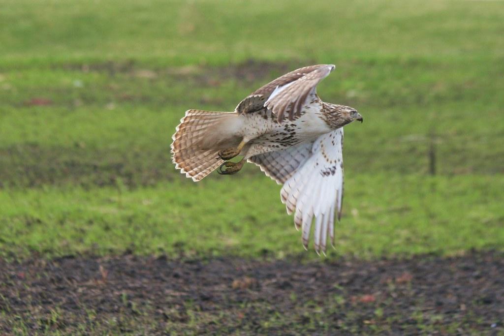 Red-Tail Hawk.