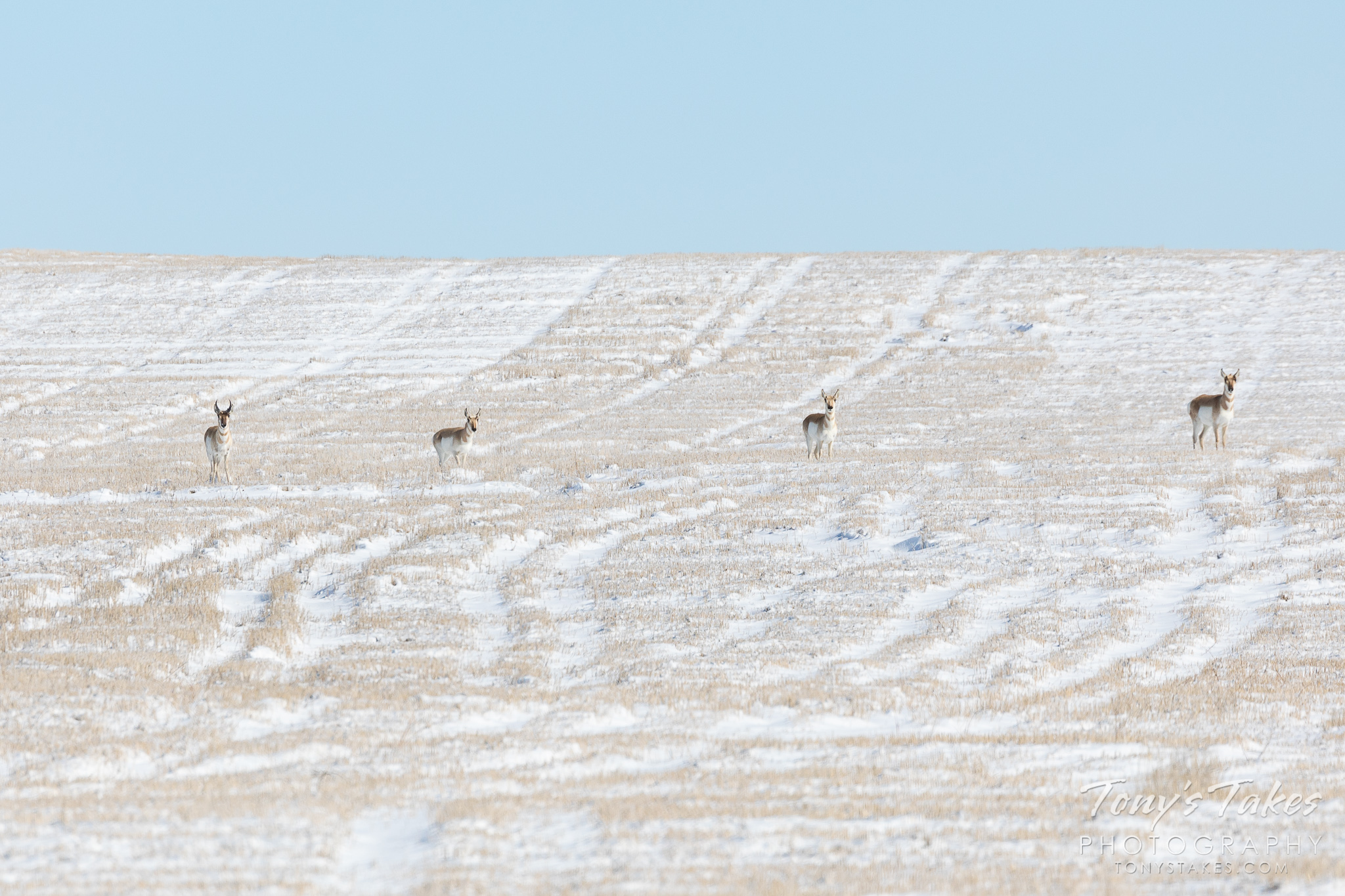 Pronghorn paying attention on the snow-covered plains
