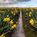 Daffodils and Mud