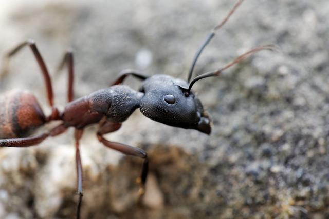 DSC_4899_DxO - fourmi - Ant - Camponotus cruentatus