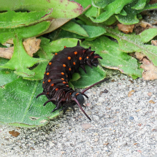 us usa america unitedstates southtexas day12 gooseislandstatepark nature insect caterpillar pipevineswallowtailbutterfly crawling ground leaves path outdoor 30march2019 canon sx60 canonsx60 powershot annkelliott anneelliott ©anneelliott2019 ©allrightsreserved