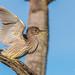 Nachtreiher juvenile / Black-crowned Night-Heron juvenile