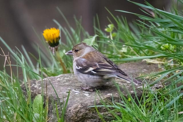 Buchfinkweibchen / female chaffinch