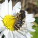 Welche stylopisierte Wildbiene?