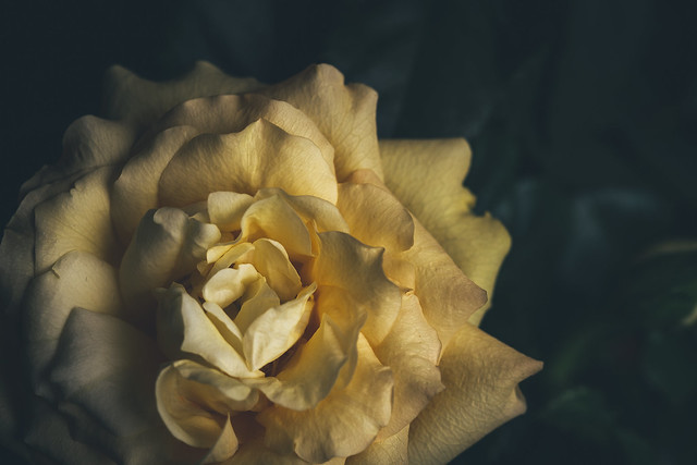 90/366 - Yellow Rose