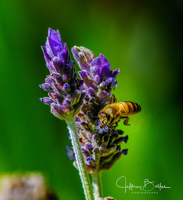 Bee in Lavender shot with Sony A9