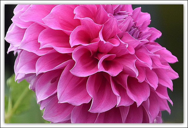 Flower Of The Day - Pink Dahlia