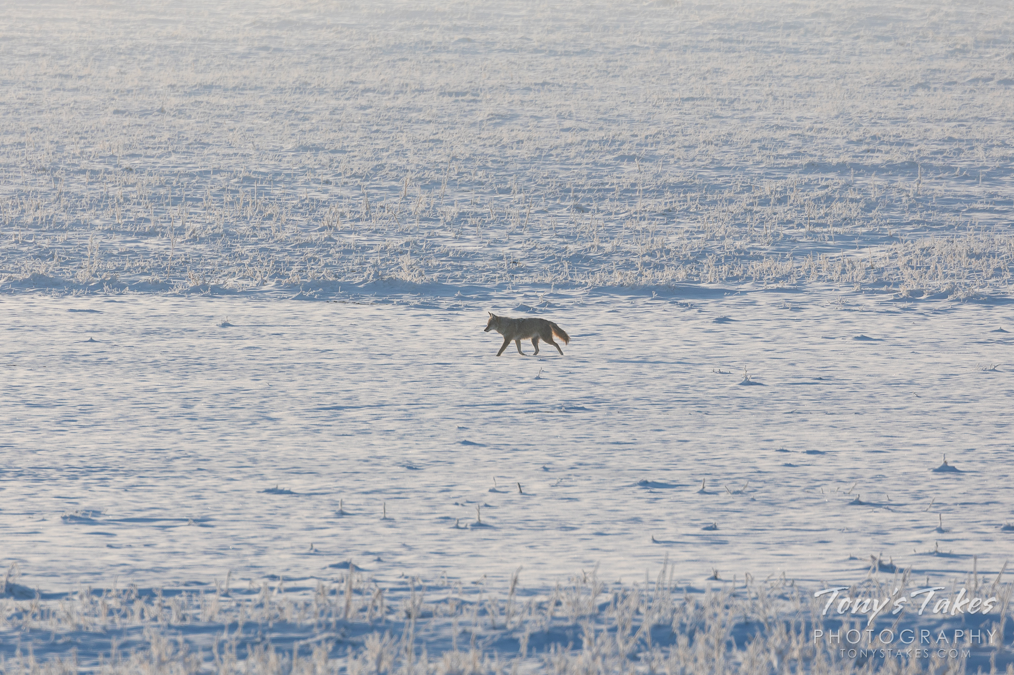 Coyote out of for a stroll in the snow