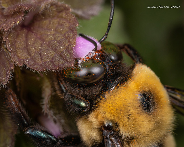 Pollen Covered Carpenter Bee