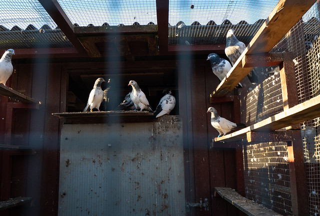 The Homing Pigeon Club (2): Low sun