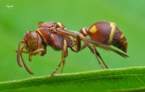 Paper wasp | by walksthewildside