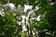 Standing in Wonder as I Look Up Under the Trees All Around (Congaree National Park)