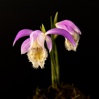 Orchid - Pleione Formosana