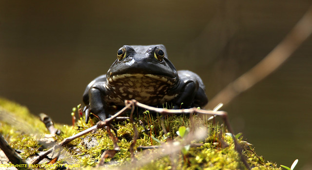 early spring frog
