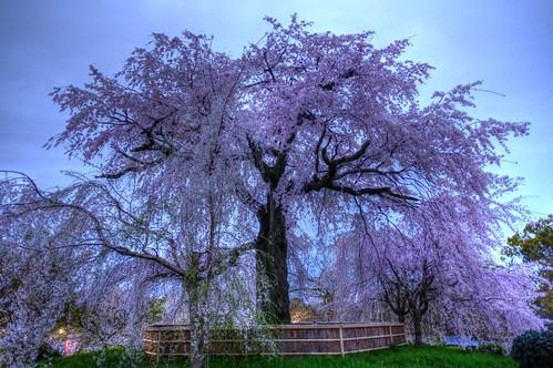 30-03-2020 Kyoto, 'Gion Shidare-Sakura' vol02 (5)