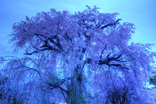 30-03-2020 Kyoto, 'Gion Shidare-Sakura' vol01 (5)