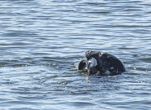 A very hungry seal