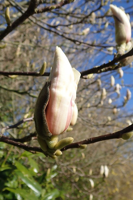 The magnolia is slowly appearing
