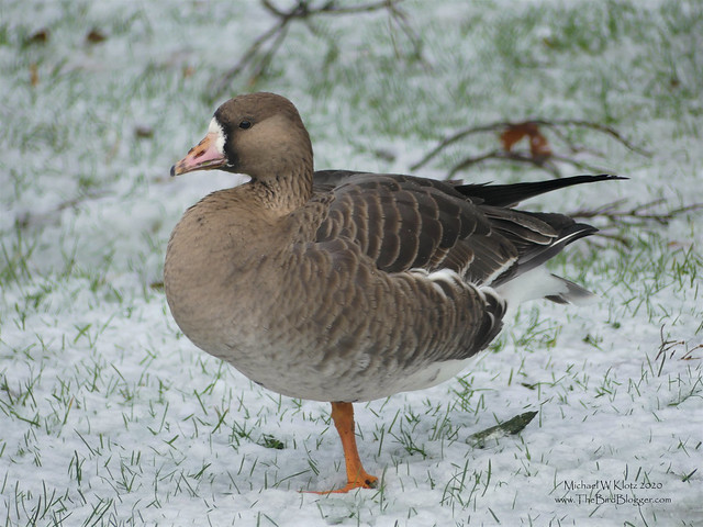 Greater White-fronted Goose - Stanley Park, BC