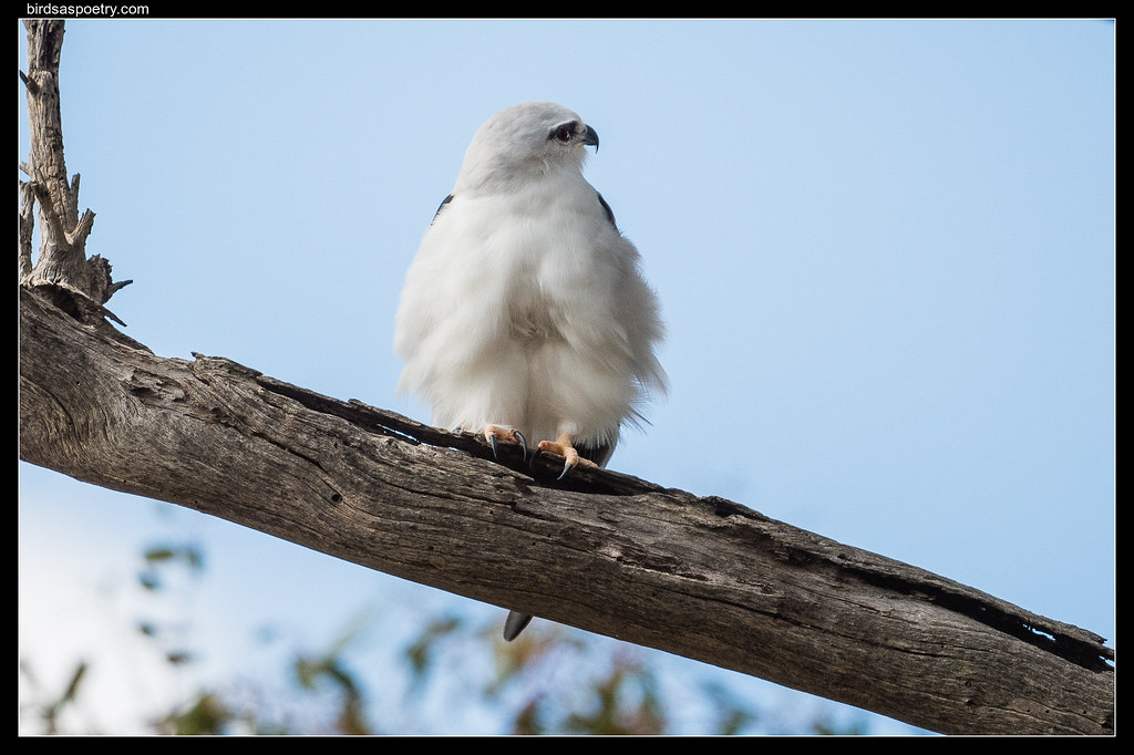 Black-shouldered Kite: Belle has an Brood Patch